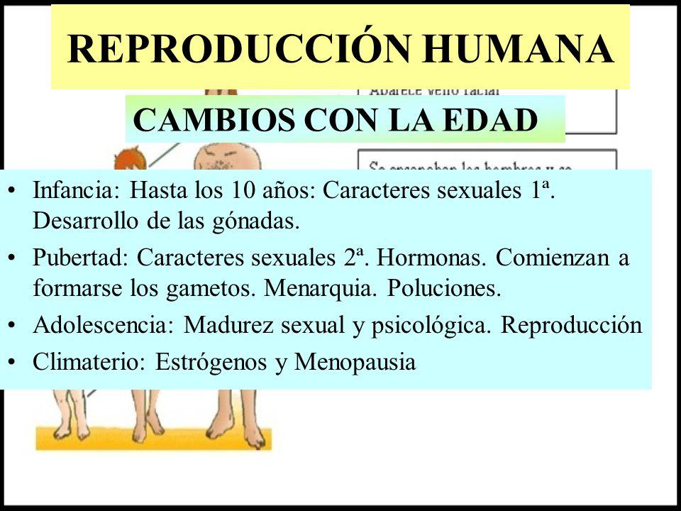 REPRODUCCIÓN HUMANA Infancia: Hasta los 10 años: Caracteres sexuales 1ª. Desarrollo de las gónadas. Pubertad: Caracteres sexuales 2ª. Hormonas. Comien
