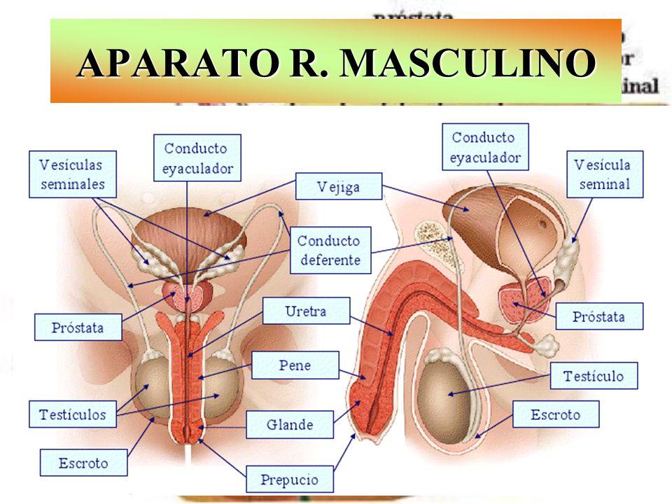APARATO R. MASCULINO