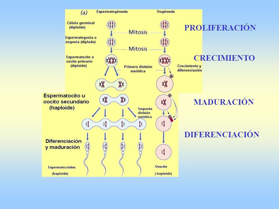ESPERMIOGÉNESIS Aparición del flagelo Eliminación de citoplasma Reorganización orgánulos: -Acrosoma -Mitocondria -Centriolos