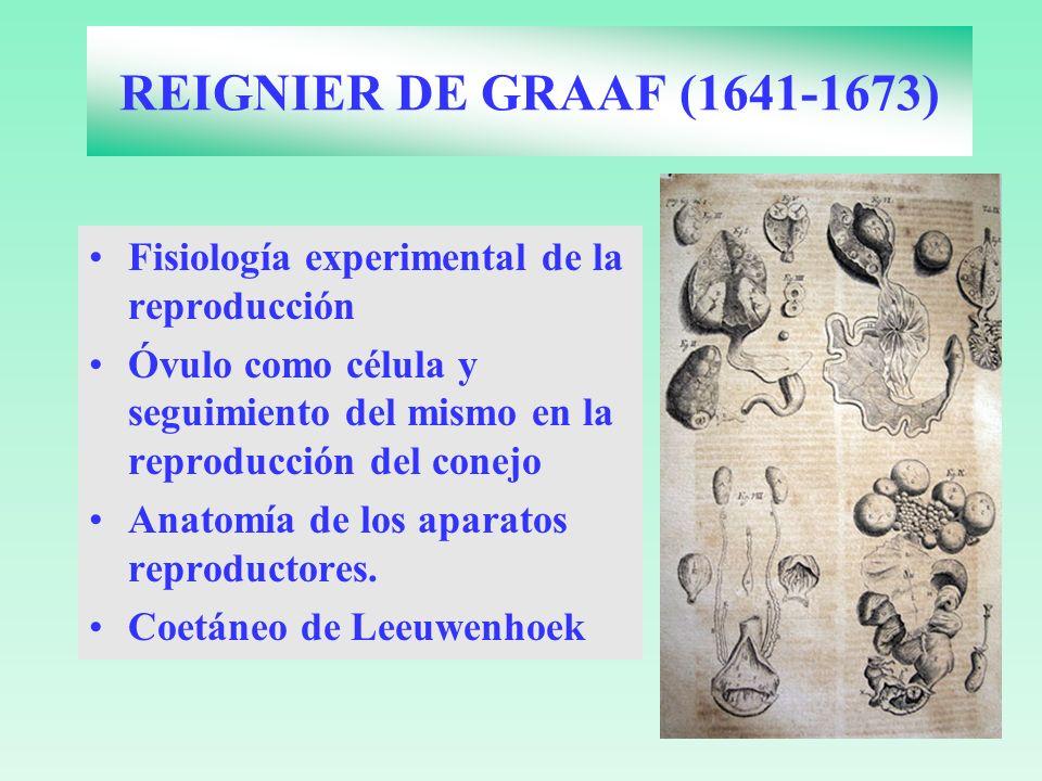 REIGNIER DE GRAAF (1641-1673) Fisiología experimental de la reproducción Óvulo como célula y seguimiento del mismo en la reproducción del conejo Anato