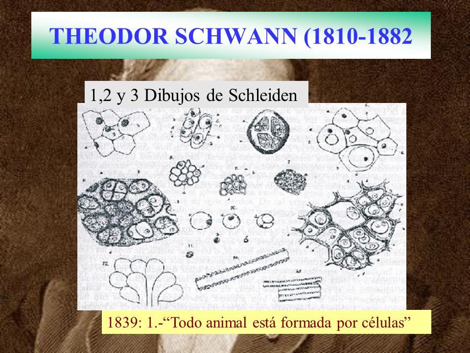 THEODOR SCHWANN (1810-1882 1839: 1.-Todo animal está formada por células 1,2 y 3 Dibujos de Schleiden