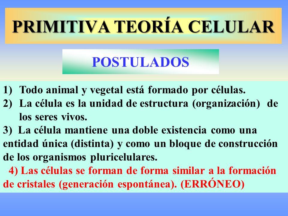 PRIMITIVA TEORÍA CELULAR 1)Todo animal y vegetal está formado por células. 2)La célula es la unidad de estructura (organización) de los seres vivos. 3