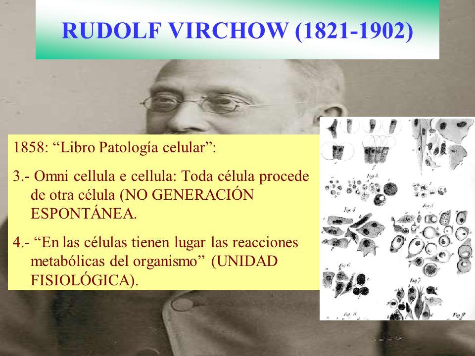 RUDOLF VIRCHOW (1821-1902) 1858: Libro Patología celular: 3.- Omni cellula e cellula: Toda célula procede de otra célula (NO GENERACIÓN ESPONTÁNEA. 4.