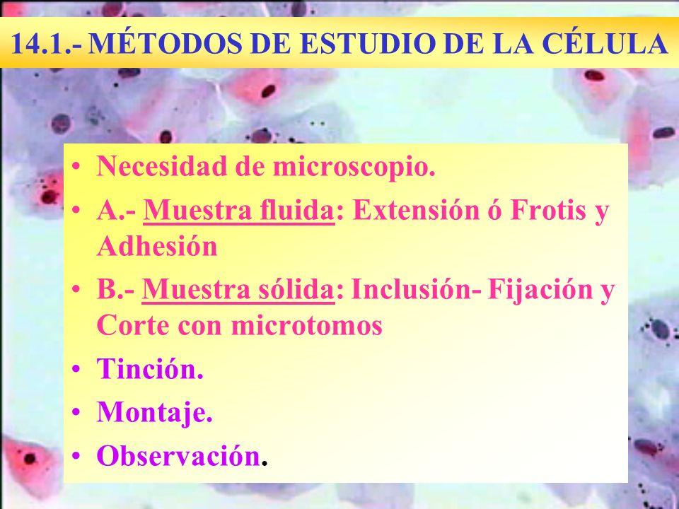 14.1.- MÉTODOS DE ESTUDIO DE LA CÉLULA Necesidad de microscopio. A.- Muestra fluida: Extensión ó Frotis y Adhesión B.- Muestra sólida: Inclusión- Fija