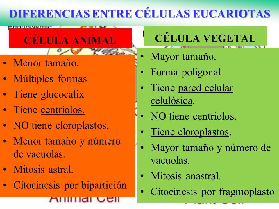 DIFERENCIAS ENTRE CÉLULAS EUCARIOTAS CÉLULA ANIMAL CÉLULA VEGETAL Mayor tamaño. Forma poligonal Tiene pared celular celulósica. NO tiene centriolos. T