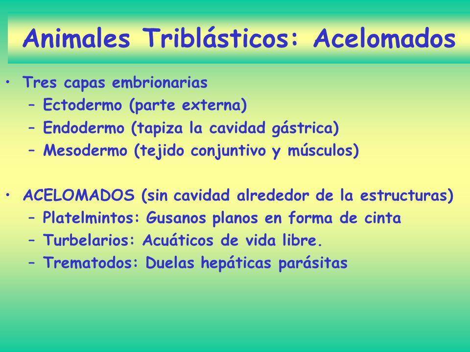 Animales Triblásticos: Acelomados Tres capas embrionarias –Ectodermo (parte externa) –Endodermo (tapiza la cavidad gástrica) –Mesodermo (tejido conjun