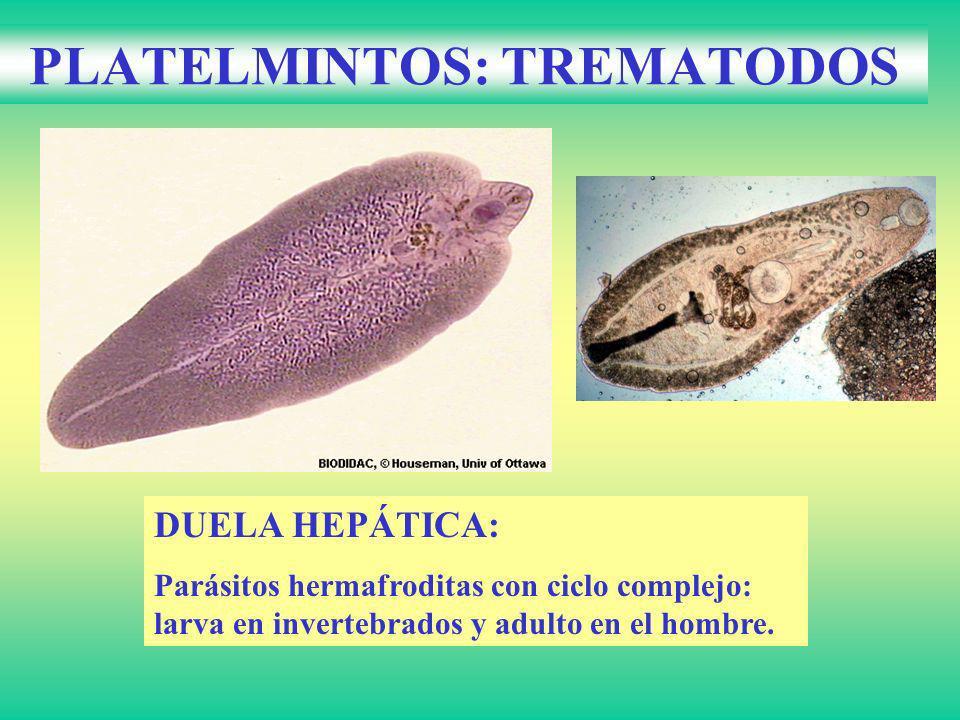 PLATELMINTOS: TREMATODOS DUELA HEPÁTICA: Parásitos hermafroditas con ciclo complejo: larva en invertebrados y adulto en el hombre.