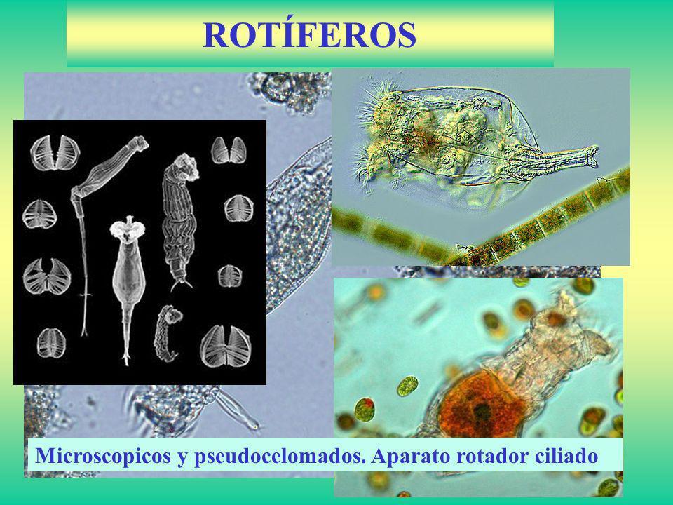ROTÍFEROS Microscopicos y pseudocelomados. Aparato rotador ciliado
