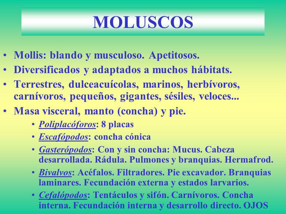 MOLUSCOS Mollis: blando y musculoso. Apetitosos. Diversificados y adaptados a muchos hábitats. Terrestres, dulceacuícolas, marinos, herbívoros, carnív
