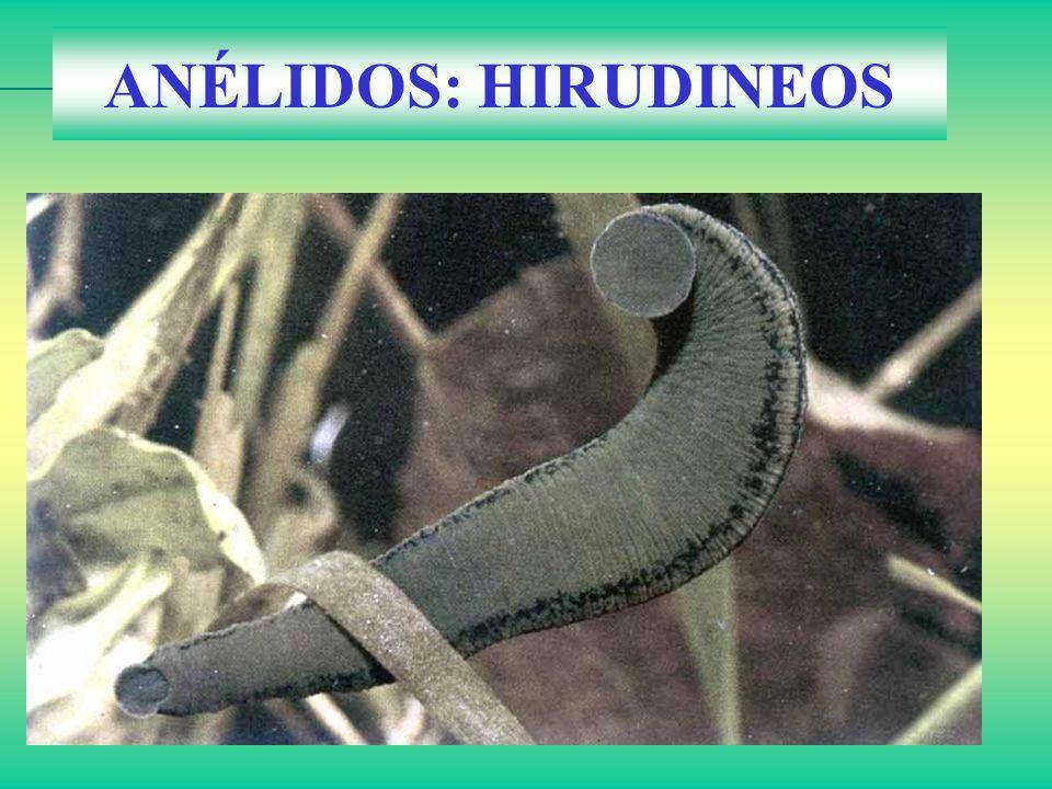 ANÉLIDOS: HIRUDINEOS