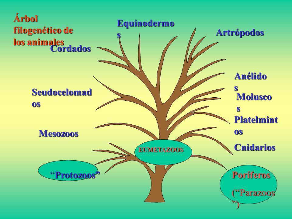 ProtozoosProtozoos Poríferos (Parazoos ) Cnidarios Platelmint os Molusco s Anélido s Artrópodos Equinodermo s Cordados Seudocelomad os Mesozoos EUMETA