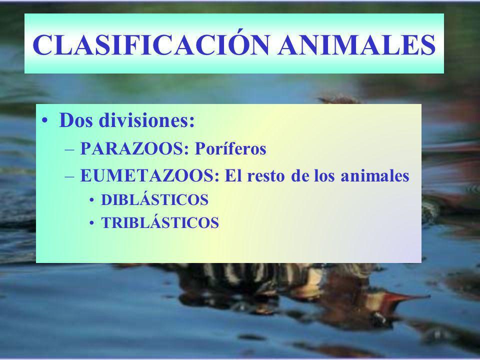 CLASIFICACIÓN ANIMALES Dos divisiones: –PARAZOOS: Poríferos –EUMETAZOOS: El resto de los animales DIBLÁSTICOS TRIBLÁSTICOS