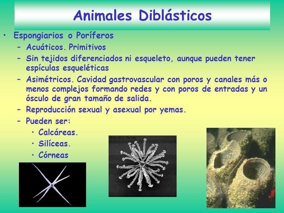 Animales Diblásticos Espongiarios o Poríferos –Acuáticos. Primitivos –Sin tejidos diferenciados ni esqueleto, aunque pueden tener espículas esquelétic