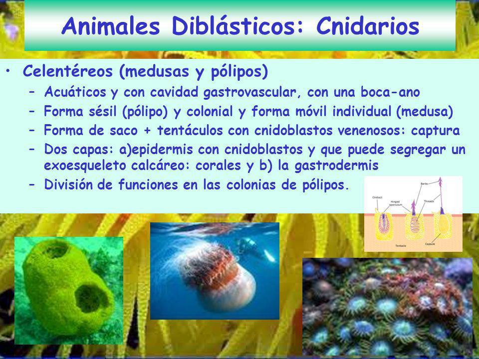 Animales Diblásticos: Cnidarios Celentéreos (medusas y pólipos) –Acuáticos y con cavidad gastrovascular, con una boca-ano –Forma sésil (pólipo) y colo