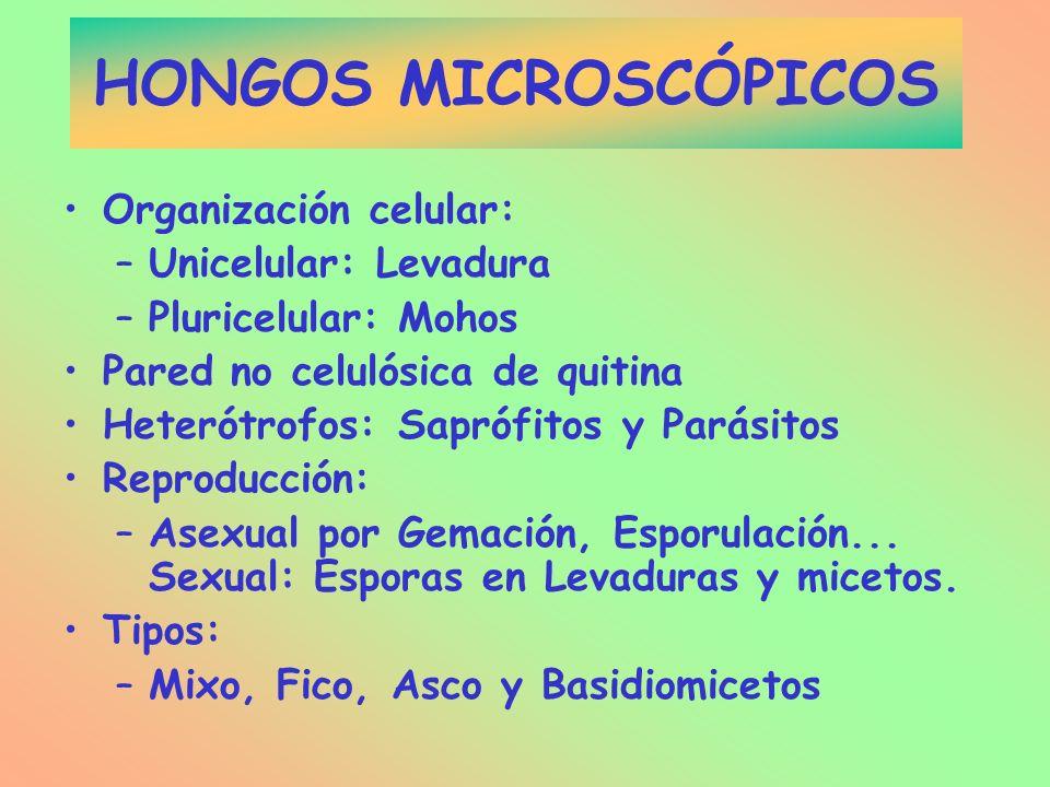 HONGOS MICROSCÓPICOS Organización celular: –Unicelular: Levadura –Pluricelular: Mohos Pared no celulósica de quitina Heterótrofos: Saprófitos y Parási