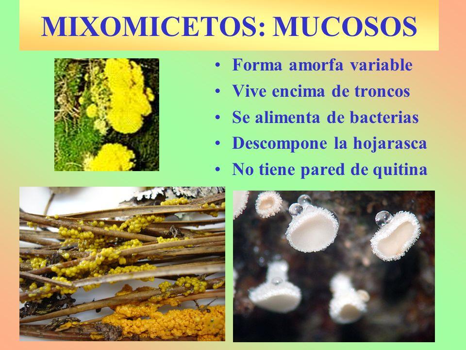 MIXOMICETOS: MUCOSOS Forma amorfa variable Vive encima de troncos Se alimenta de bacterias Descompone la hojarasca No tiene pared de quitina