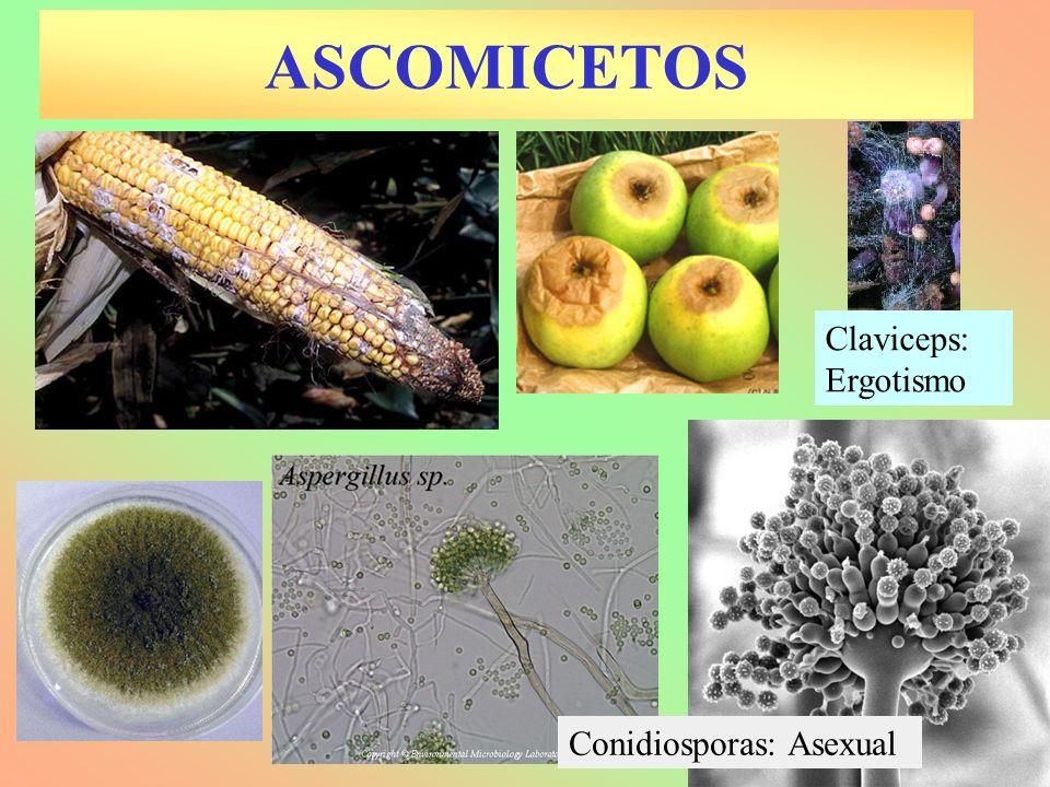 ASCOMICETOS Claviceps: Ergotismo Conidiosporas: Asexual