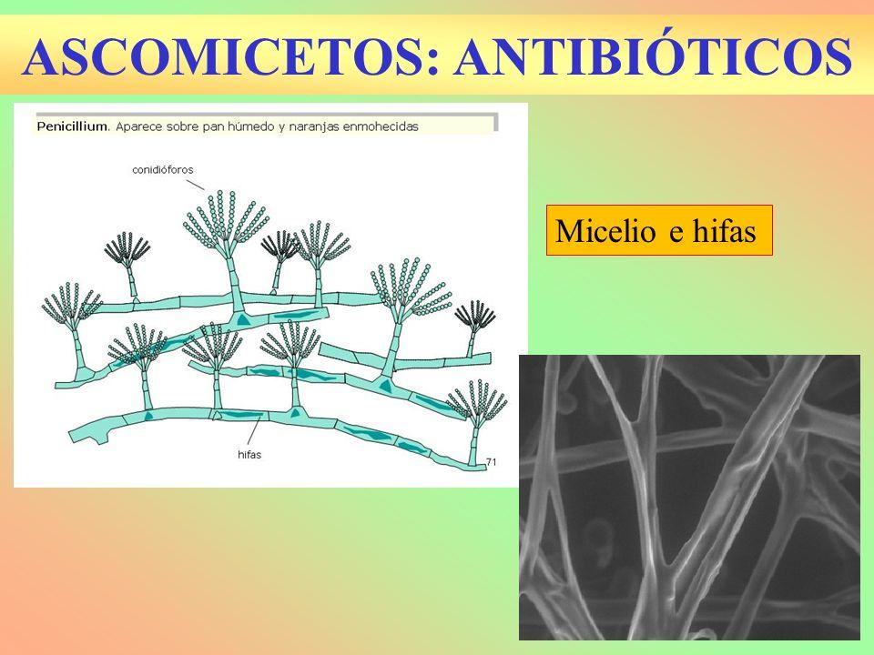 ASCOMICETOS: ANTIBIÓTICOS Micelio e hifas