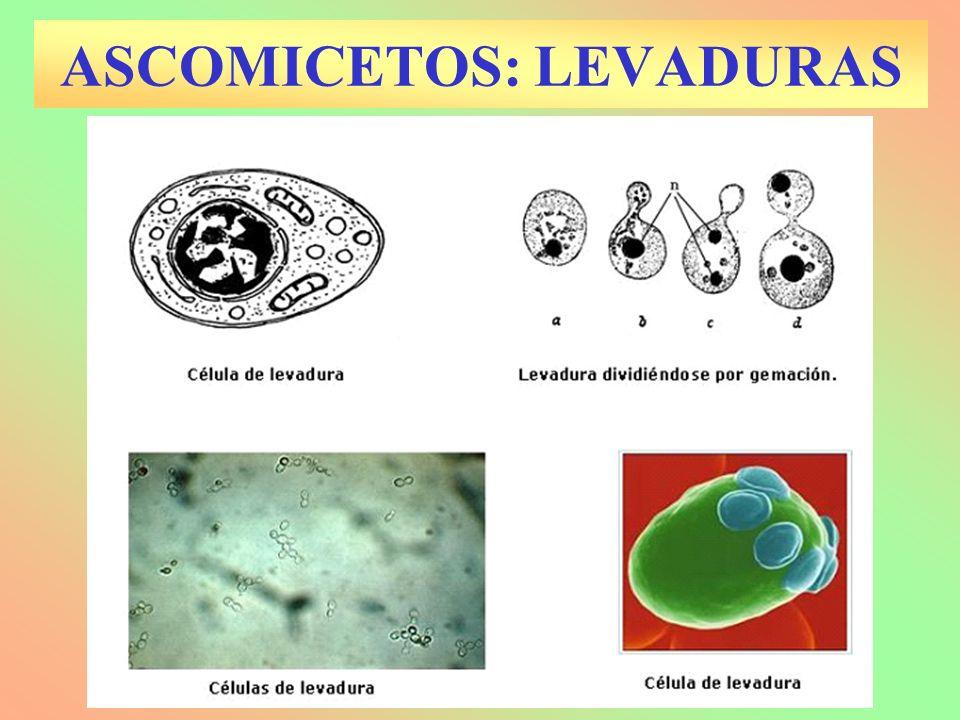 ASCOMICETOS: LEVADURAS
