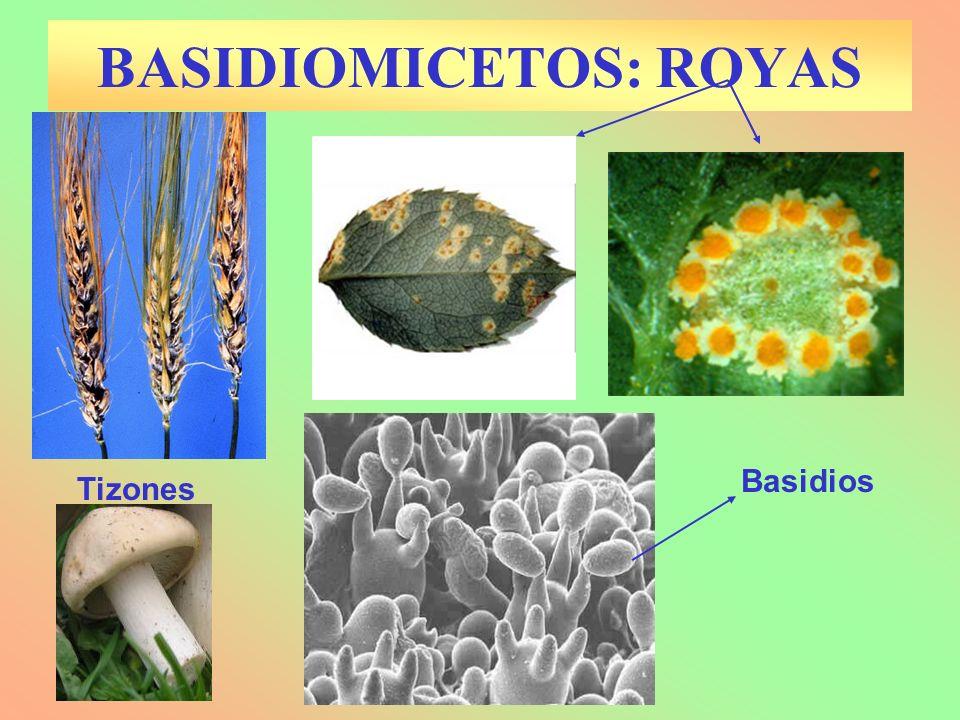 BASIDIOMICETOS: ROYAS Basidios Tizones