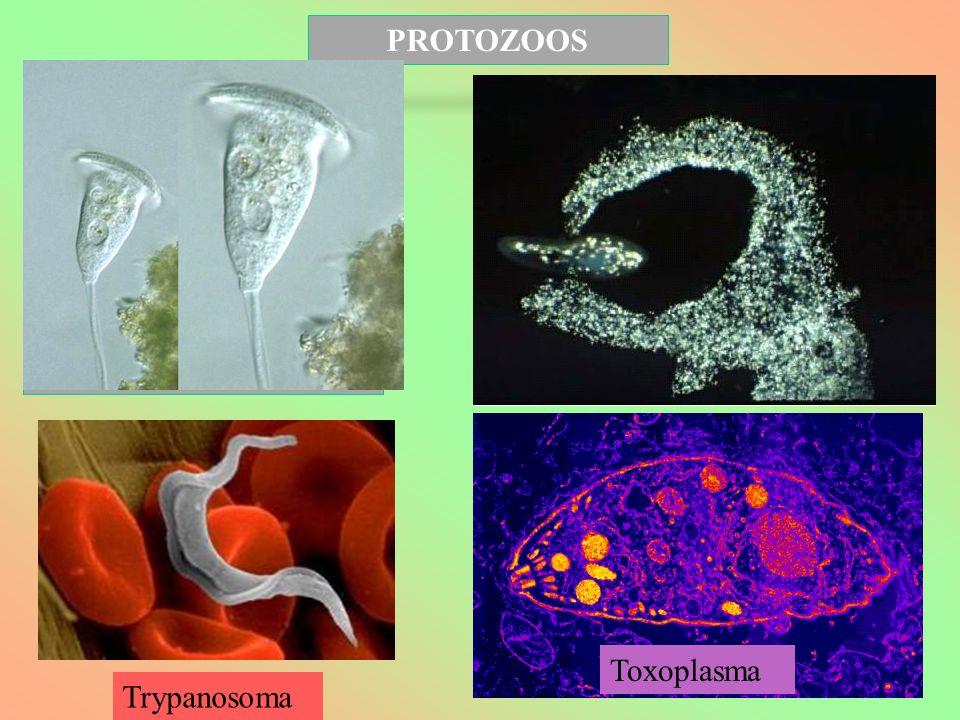 PROTOZOOS EUGLENA Trypanosoma Toxoplasma