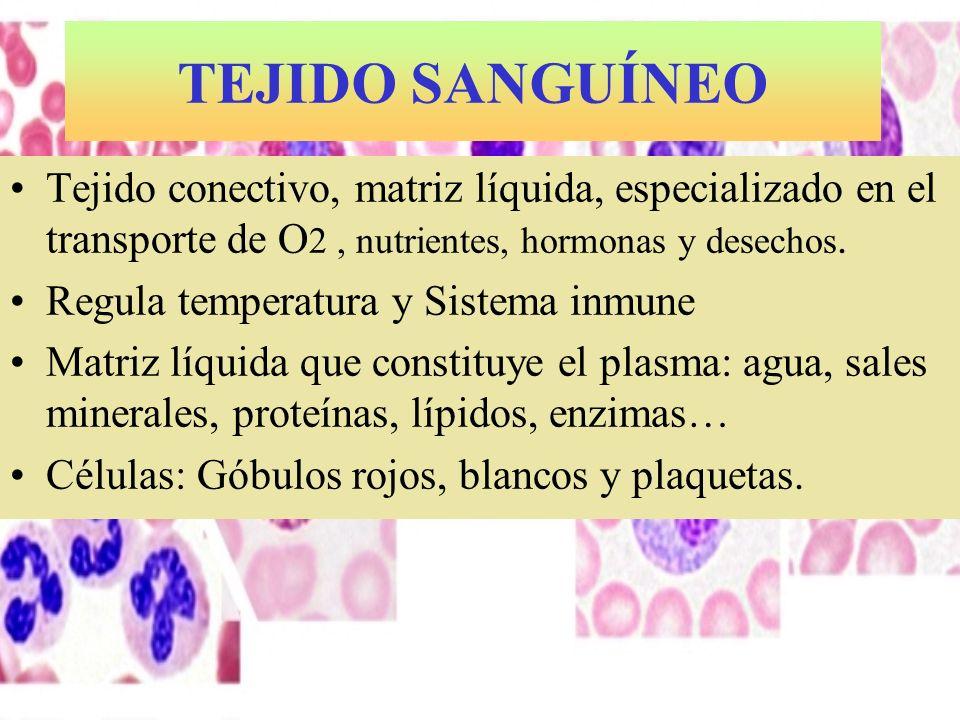 TEJIDO SANGUÍNEO Tejido conectivo, matriz líquida, especializado en el transporte de O 2, nutrientes, hormonas y desechos. Regula temperatura y Sistem
