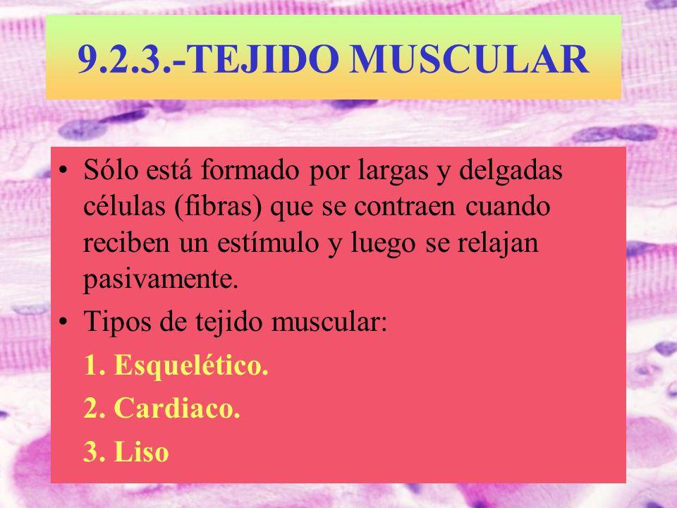 9.2.3.-TEJIDO MUSCULAR Sólo está formado por largas y delgadas células (fibras) que se contraen cuando reciben un estímulo y luego se relajan pasivame