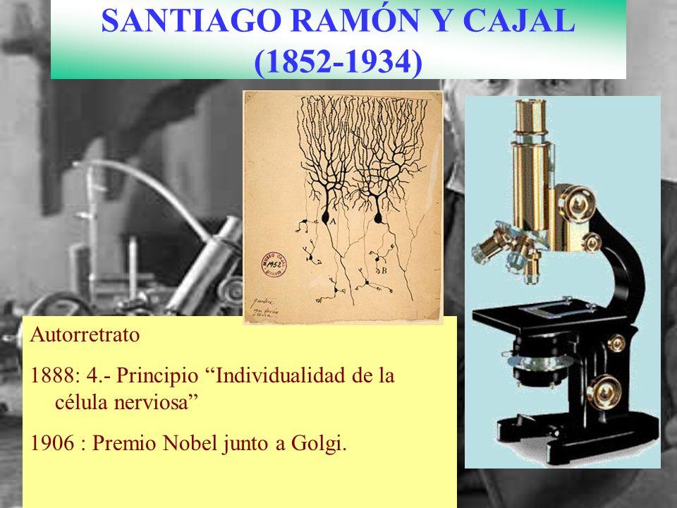 SANTIAGO RAMÓN Y CAJAL (1852-1934) Autorretrato 1888: 4.- Principio Individualidad de la célula nerviosa 1906 : Premio Nobel junto a Golgi.