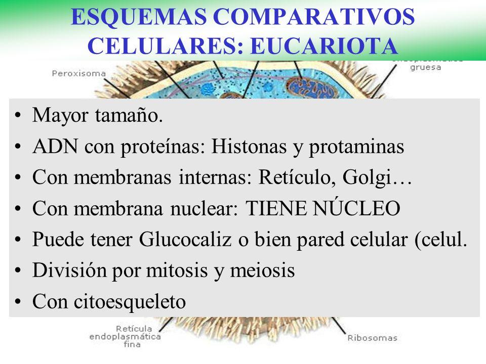 ESQUEMAS COMPARATIVOS CELULARES: EUCARIOTA Mayor tamaño.
