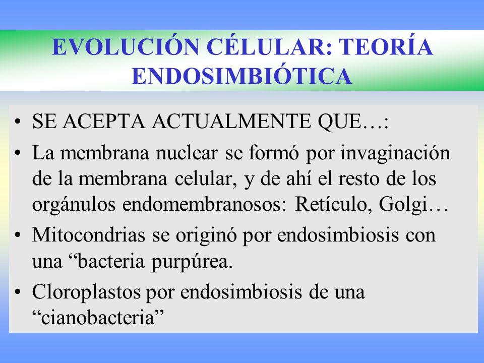 EVOLUCIÓN CÉLULAR: TEORÍA ENDOSIMBIÓTICA SE ACEPTA ACTUALMENTE QUE…: La membrana nuclear se formó por invaginación de la membrana celular, y de ahí el resto de los orgánulos endomembranosos: Retículo, Golgi… Mitocondrias se originó por endosimbiosis con una bacteria purpúrea.