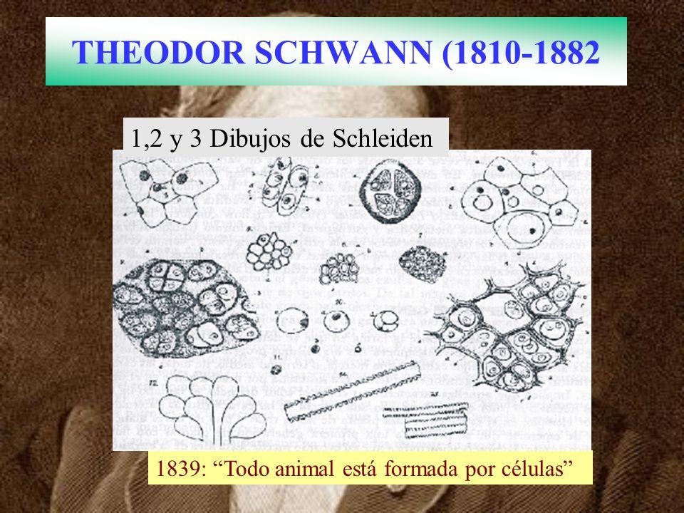 THEODOR SCHWANN (1810-1882 1839: Todo animal está formada por células 1,2 y 3 Dibujos de Schleiden