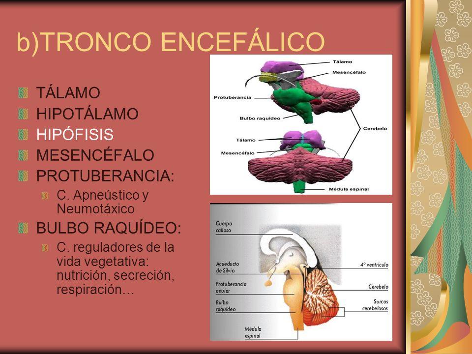 b)TRONCO ENCEFÁLICO TÁLAMO HIPOTÁLAMO HIPÓFISIS MESENCÉFALO PROTUBERANCIA: C. Apneústico y Neumotáxico BULBO RAQUÍDEO: C. reguladores de la vida veget