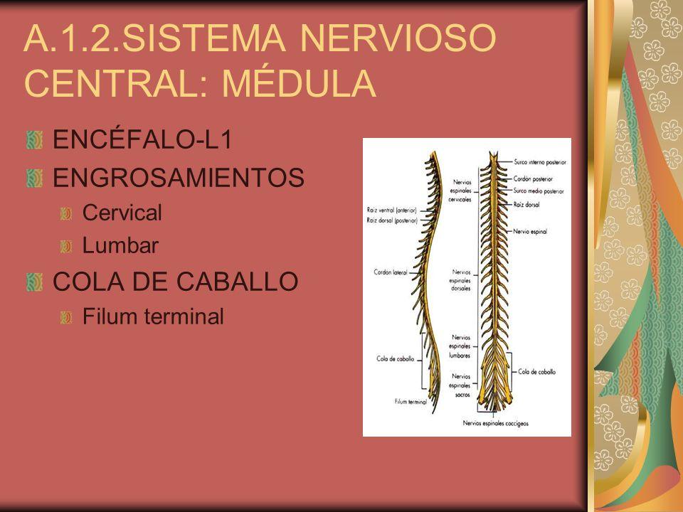 ENCÉFALO-L1 ENGROSAMIENTOS Cervical Lumbar COLA DE CABALLO Filum terminal A.1.2.SISTEMA NERVIOSO CENTRAL: MÉDULA