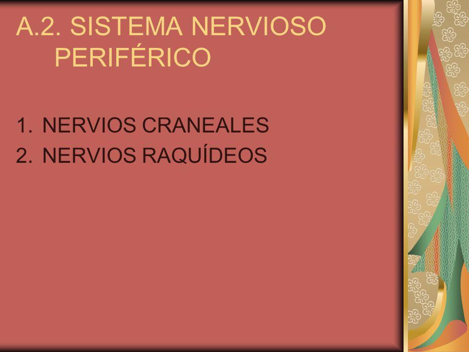 A.2. SISTEMA NERVIOSO PERIFÉRICO 1.NERVIOS CRANEALES 2.NERVIOS RAQUÍDEOS