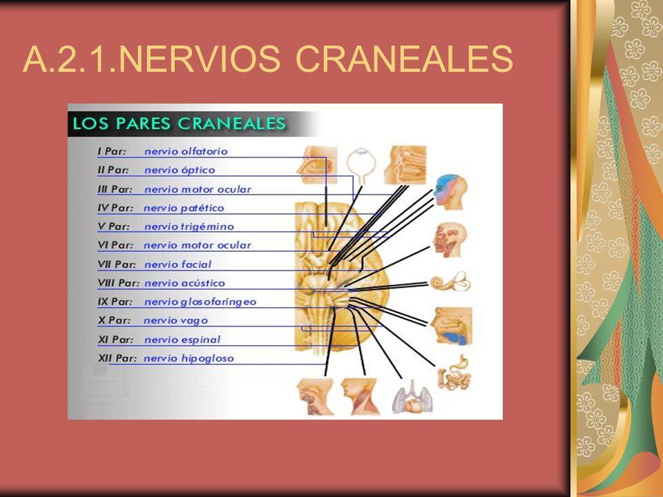 A.2.1.NERVIOS CRANEALES