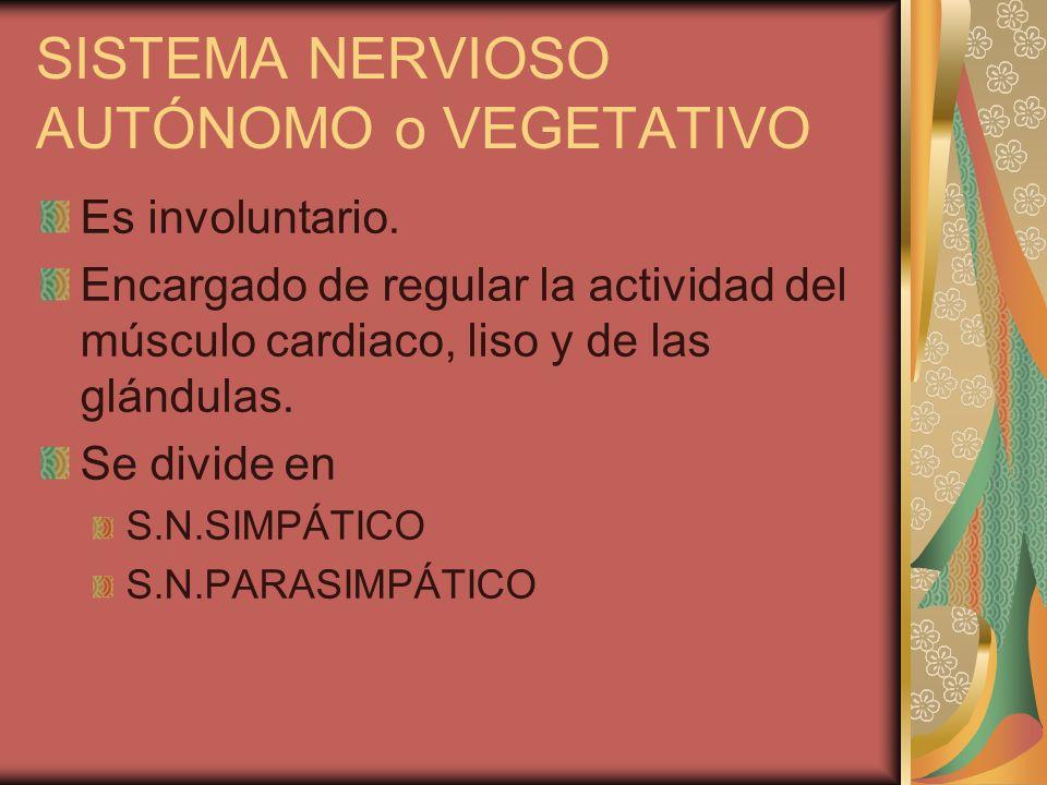 SISTEMA NERVIOSO AUTÓNOMO o VEGETATIVO Es involuntario. Encargado de regular la actividad del músculo cardiaco, liso y de las glándulas. Se divide en
