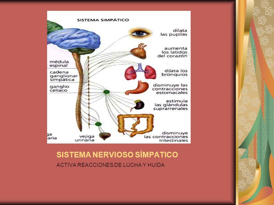 SISTEMA NERVIOSO SÍMPATICO ACTIVA REACCIONES DE LUCHA Y HUIDA