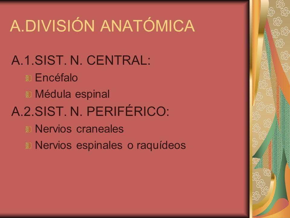 A.DIVISIÓN ANATÓMICA A.1.SIST. N. CENTRAL: Encéfalo Médula espinal A.2.SIST. N. PERIFÉRICO: Nervios craneales Nervios espinales o raquídeos