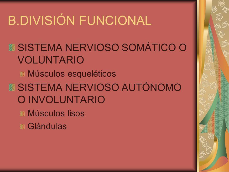 B.DIVISIÓN FUNCIONAL SISTEMA NERVIOSO SOMÁTICO O VOLUNTARIO Músculos esqueléticos SISTEMA NERVIOSO AUTÓNOMO O INVOLUNTARIO Músculos lisos Glándulas