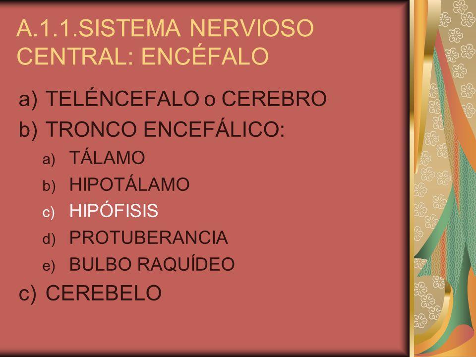 A.1.1.SISTEMA NERVIOSO CENTRAL: ENCÉFALO a)TELÉNCEFALO o CEREBRO b)TRONCO ENCEFÁLICO: a) TÁLAMO b) HIPOTÁLAMO c) HIPÓFISIS d) PROTUBERANCIA e) BULBO R