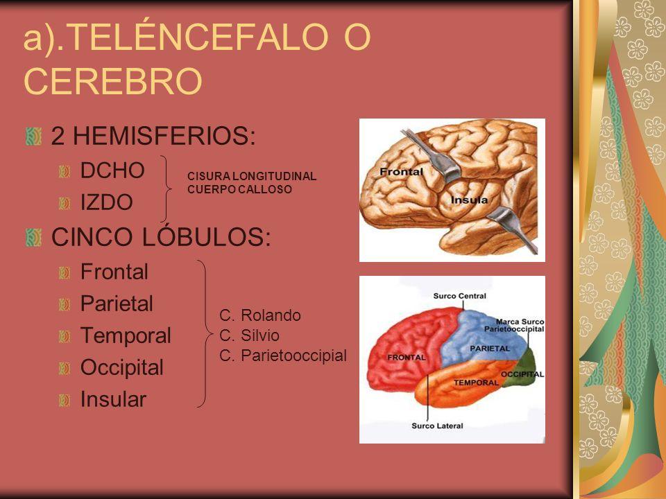 a).TELÉNCEFALO O CEREBRO 2 HEMISFERIOS: DCHO IZDO CINCO LÓBULOS: Frontal Parietal Temporal Occipital Insular CISURA LONGITUDINAL CUERPO CALLOSO C. Rol