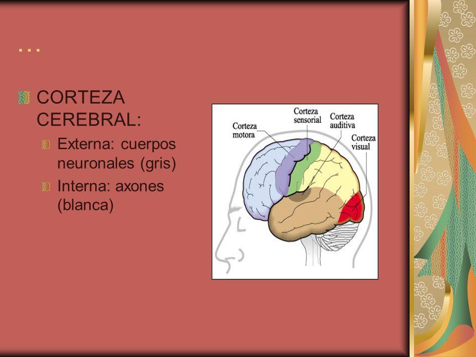 … CORTEZA CEREBRAL: Externa: cuerpos neuronales (gris) Interna: axones (blanca)