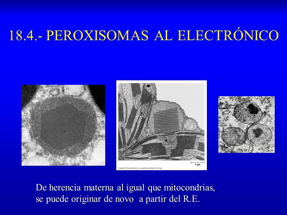 18.4.- PEROXISOMAS AL ELECTRÓNICO De herencia materna al igual que mitocondrias, se puede originar de novo a partir del R.E.