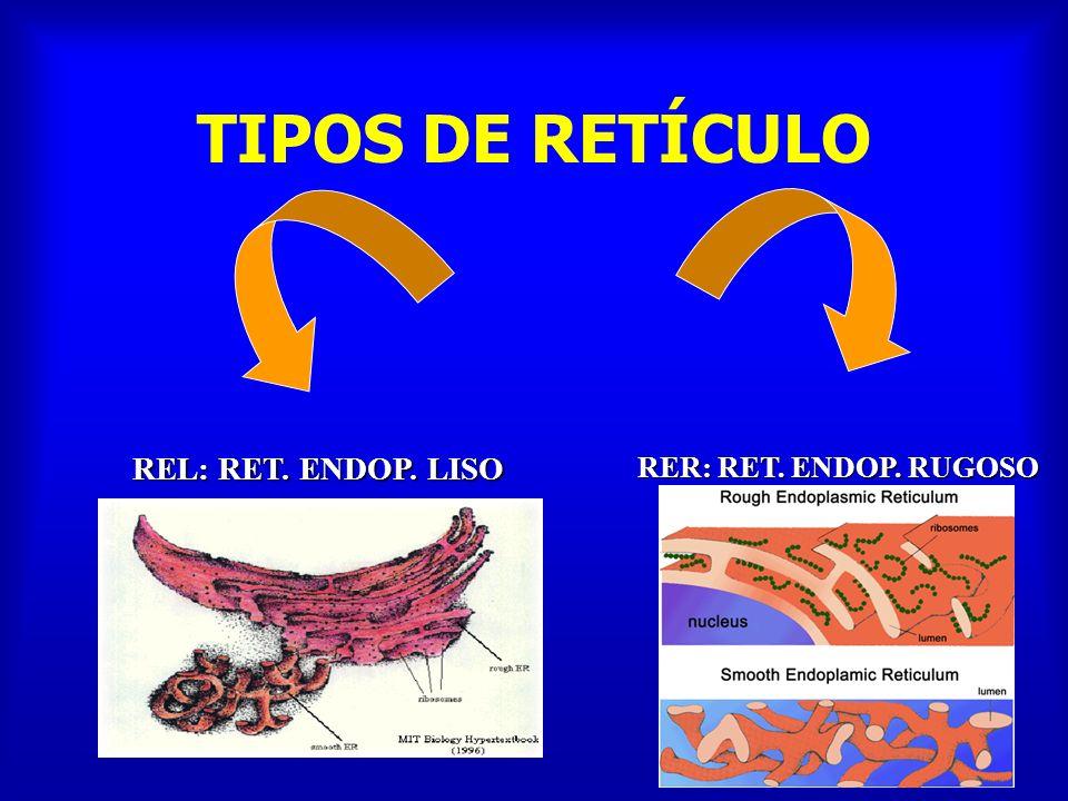 RETÍCULO ENDOPLÁSMICO LISO Principalmente tubulares Cisternas sin ribosomas.