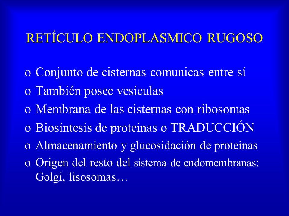 RETÍCULO ENDOPLASMICO RUGOSO oConjunto de cisternas comunicas entre sí oTambién posee vesículas oMembrana de las cisternas con ribosomas oBiosíntesis