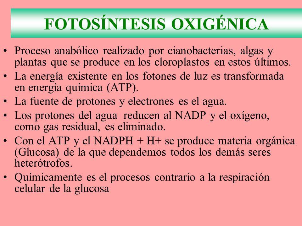 FOTOSÍNTESIS OXIGÉNICA Proceso anabólico realizado por cianobacterias, algas y plantas que se produce en los cloroplastos en estos últimos. La energía