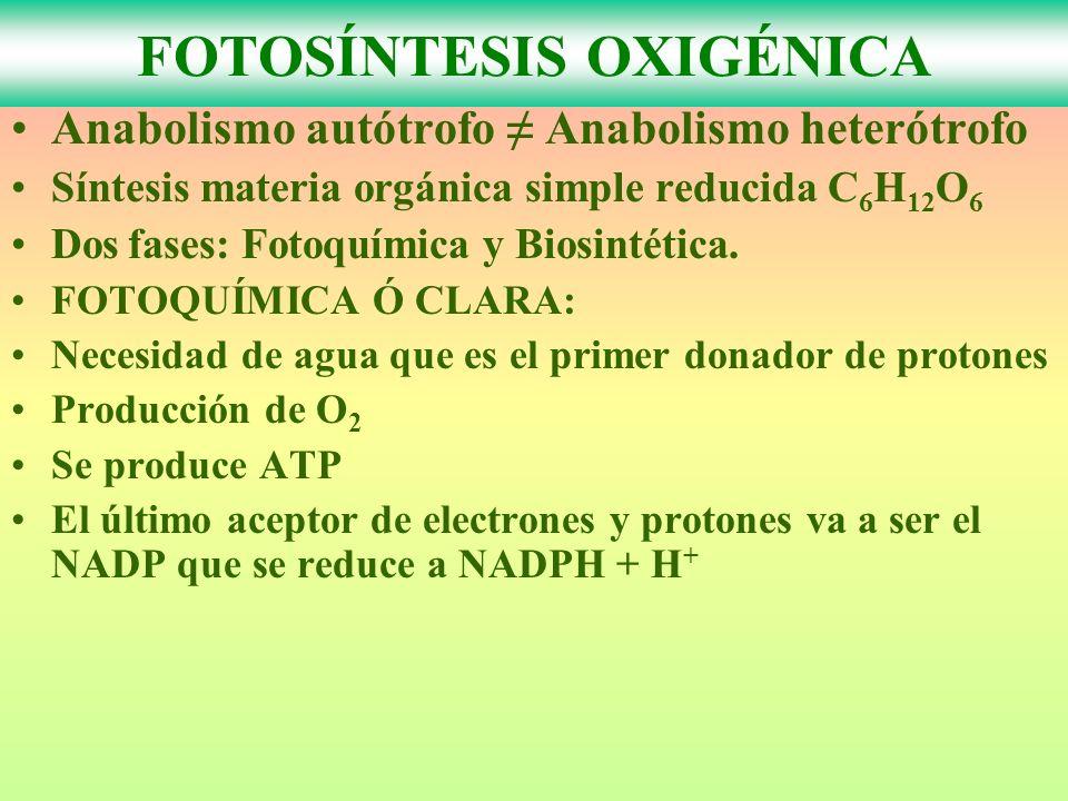 FOTOSÍNTESIS OXIGÉNICA Anabolismo autótrofo Anabolismo heterótrofo Síntesis materia orgánica simple reducida C 6 H 12 O 6 Dos fases: Fotoquímica y Bio