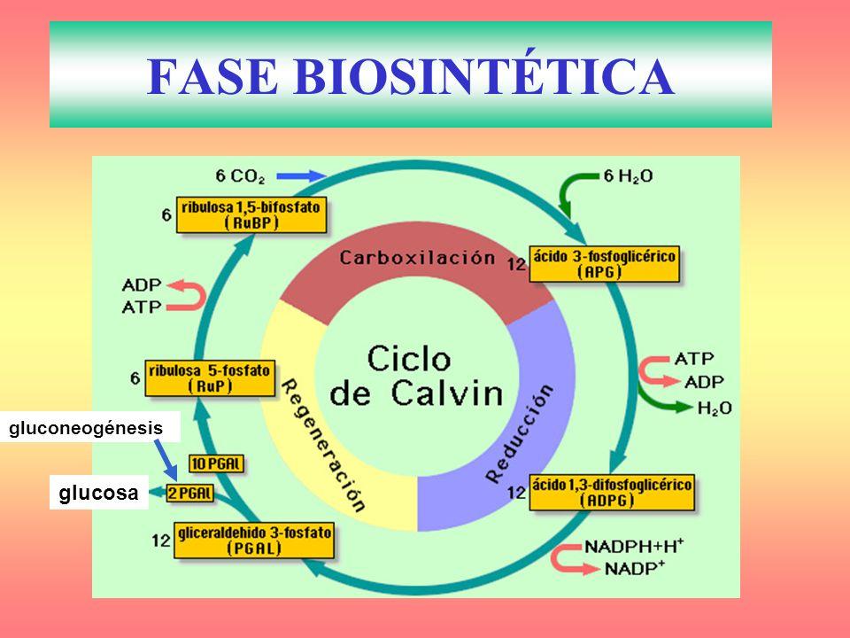 gluconeogénesis glucosa FASE BIOSINTÉTICA