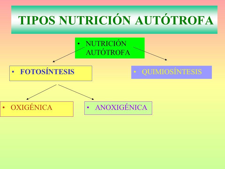 NUTRICIÓN AUTÓTROFA FOTOSÍNTESIS QUIMIOSÍNTESIS OXIGÉNICA TIPOS NUTRICIÓN AUTÓTROFA ANOXIGÉNICA