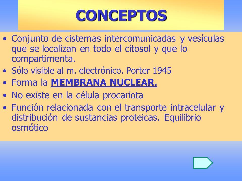 CONCEPTOS Conjunto de cisternas intercomunicadas y vesículas que se localizan en todo el citosol y que lo compartimenta. Sólo visible al m. electrónic